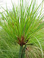 Cyperus papyrus detail 01 by Line1.JPG