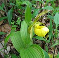 Cypripedium parviflorum pubescens.jpg