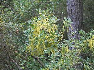 Cyrilla - Cyrilla racemiflora in Myrtle Beach, SC