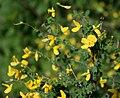 Cytisophyllum sessilifolium 3.jpg
