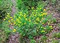 Cytisophyllum sessilifolium in Lozere (9).jpg