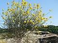 Cytisus scoparius in Parco Regionale Gessi Bolognesi.jpg
