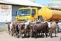 Déplacement des vaches au Tchad.jpg