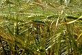 DSC 0043 Пшениця.jpg