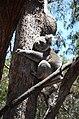DSC 6242 koala, Flinders Chase National Park, Kangaroo Island, South Australia (31241090850).jpg