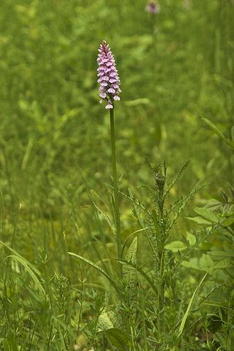 Dactylorhiza maculata - Dactylorhiza maculata subsp. maculata