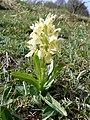 Dactylorhiza sambucina (massif des Vosges).jpg