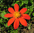 Dahlia coccinea, the Red Dahlia (9450014546).jpg