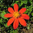 Dahlia coccinea, the Red Dahlia (9450014546).jpg