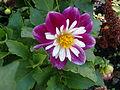 Dahlie im Bayreuther Schlossgarten CIMG2989.JPG