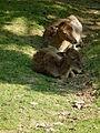 Damhirschkuh mit Jungtier Bergtierpark Erlenbach.JPG