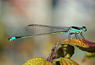 Damselfly October 2007 Osaka Japan