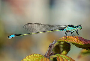 Dragonfly - Damselflies, like this Ischnura senegalensis, are more slender in build than dragonflies, and most hold their wings closed over their bodies.