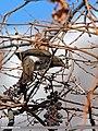 Dark-throated Thrush (Turdus ruficollis) (15709426187).jpg