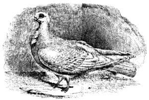 African Owl pigeon - An African Owl, as published in The Variation of Animals and Plants under Domestication by Charles Darwin in 1868