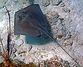 Dasyatis americana (southern stingray) (San Salvador Island, Bahamas) 7 (16152781622).jpg