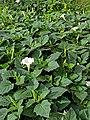 Datura inoxia (Family Solanaceae) - leaves.jpg