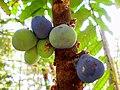 Davidsonia jerseyaqna fruit1.jpg