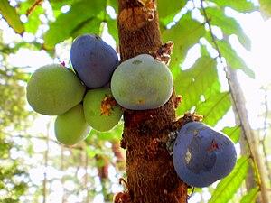 Davidsonia - Image: Davidsonia jerseyaqna fruit 1