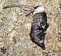 Dead rodent in Sölden.jpg