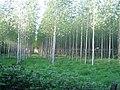 Decoypond Wood near Calvert 2 - geograph.org.uk - 499232.jpg
