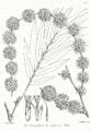 Dendrocalamus strictus Bra70.png