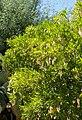 Dermatophyllum secundiflorum kz4.jpg