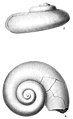 Descriptions of Some New Species of Devonian Fossils Plate 3.jpg