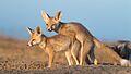 Desert Fox Pup Mock Mating.jpg