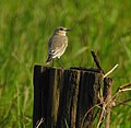 Desert wheatear kannur@kattampally birds - 3.jpg