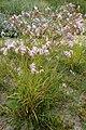 Dianthus-superbus-habitus.JPG