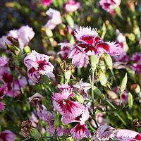 Dianthus chinensis-IMG 9236.jpg