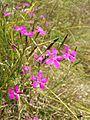 Dianthus deltoides sl3.jpg