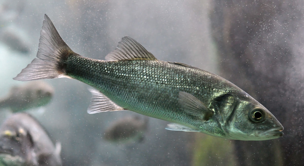 Bar commun wikip dia for What is branzino fish