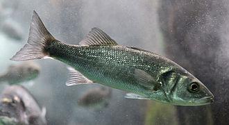 European bass - Image: Dicentrarchus labrax 01