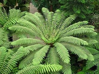 Cyatheales - Dicksonia antarctica at Kew