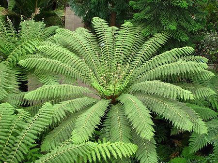 Dicksonia antarctica 20 - Kew Gardens.jpg