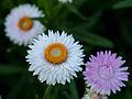 Die Strohblume, lat. Helichrysum bracteatum, Xerochrysum bracteatum, Bracteantha bracteata 18.jpg