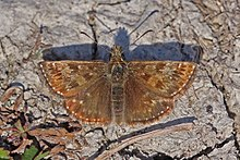 Dingy skipper (Erynnis tages) male.jpg
