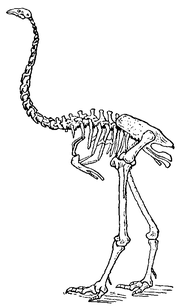 Dinornis maximus from The New Gresham Encyclopedia