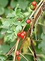 Dioscorea communis (berries).jpg