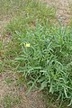 Diplotaxis tenuifolia kz03.jpg