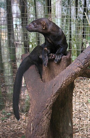 300px DirkvdM tayra Costa Rica Wildlife   8 Quick Facts About the Tayra