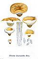 Discina leucoxantha- Bresadola-Iconographia Mycologica-Tab. 1197.jpg