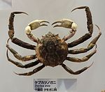 Doclea ovis - National Museum of Nature and Science, Tokyo - DSC07558.JPG
