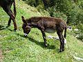 Donkey Val dei Ratti 03.JPG