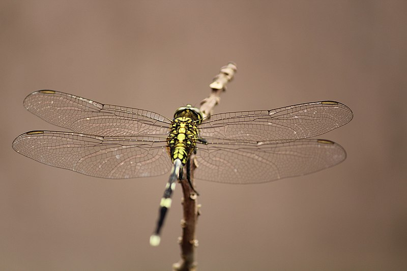 File:Dragon Fly (163263035).jpeg
