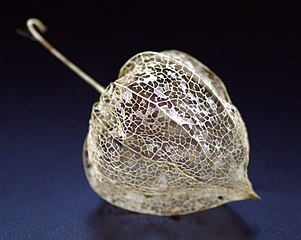 Dried Physalis alkekengi.jpg