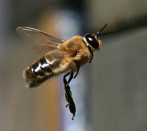 Drone (bee) - In flight