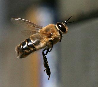 Drone (bee) - In flight